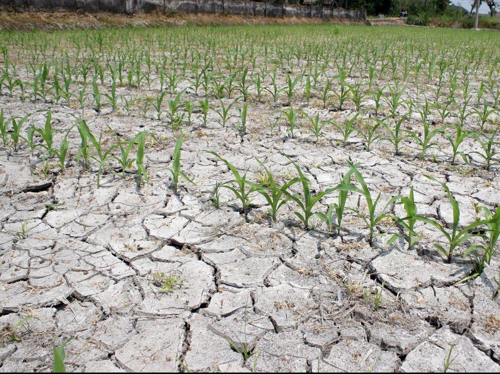Kemarau Panjang, Sumur dan Sawah di Jawa Barat Mengering