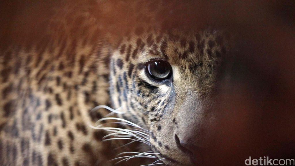Macan Tutul Tiba-tiba Masuk ke Sekolah India, 3 Orang Luka-luka
