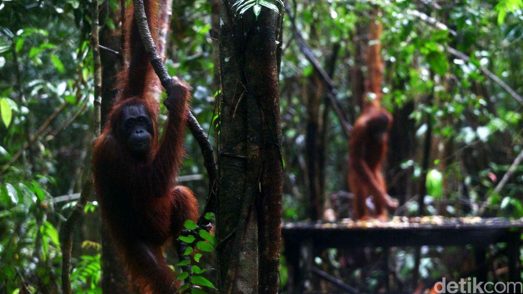 Penyidik KLHK Tangkap Penjual Orangutan di Aceh