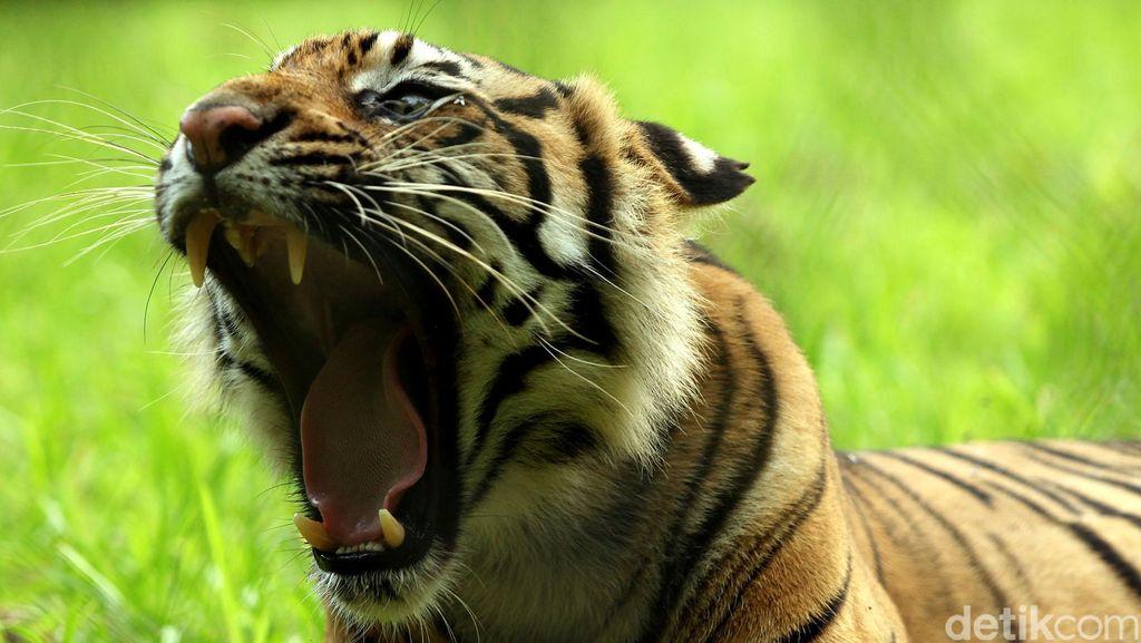 Diserang Harimau Sumatra, Penjaga Kebun Binatang Polandia Tewas