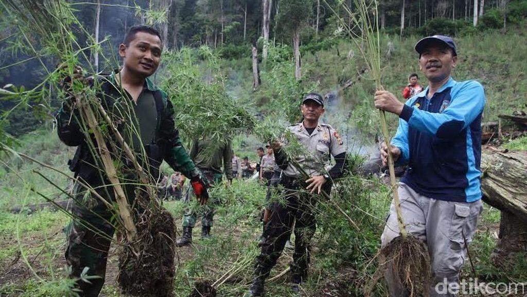 Patroli di Pegunungan Gayo Lues, BNN Temukan 40 Hektar Ladang Ganja