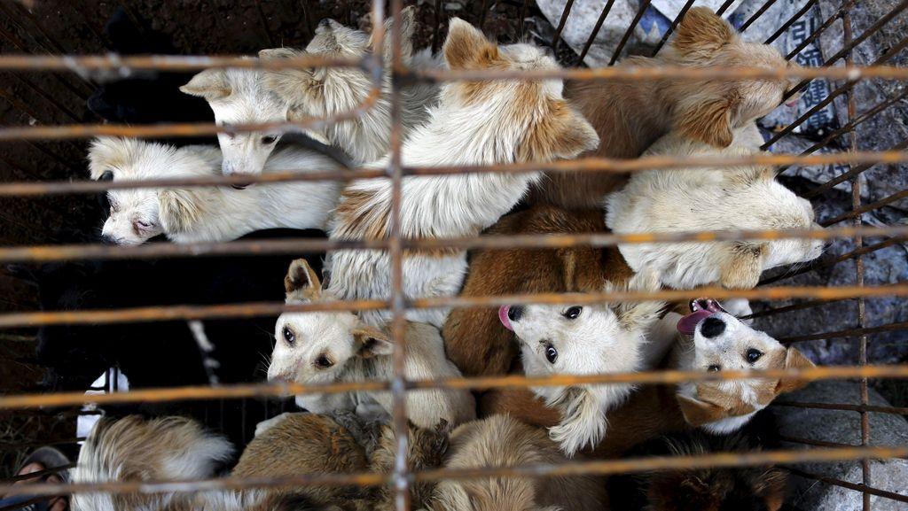 Ini Alasan Warga Yulin China Ngotot  Siksa dan Makan Daging Anjing