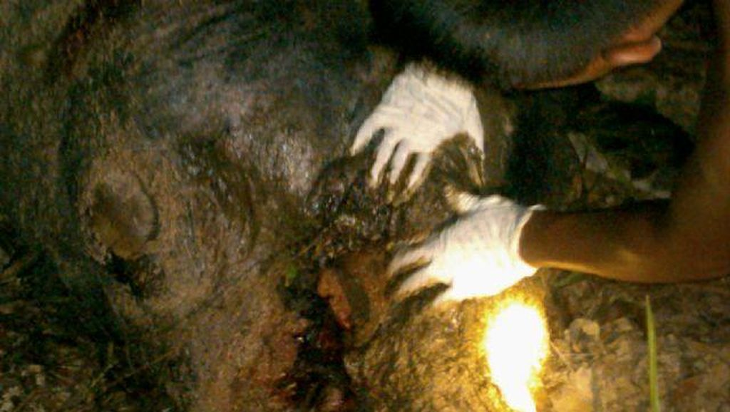 Seekor Gajah Jantan Mati di Aceh, Diduga Keracunan Pupuk