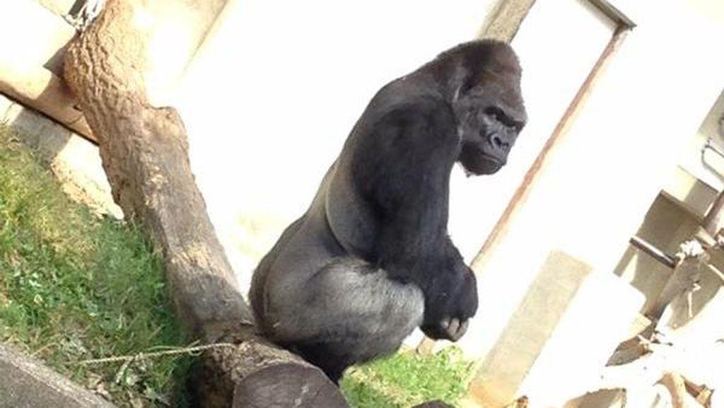 Heboh Gorila Keren, Wanita Jepang Banjiri Kebun Binatang
