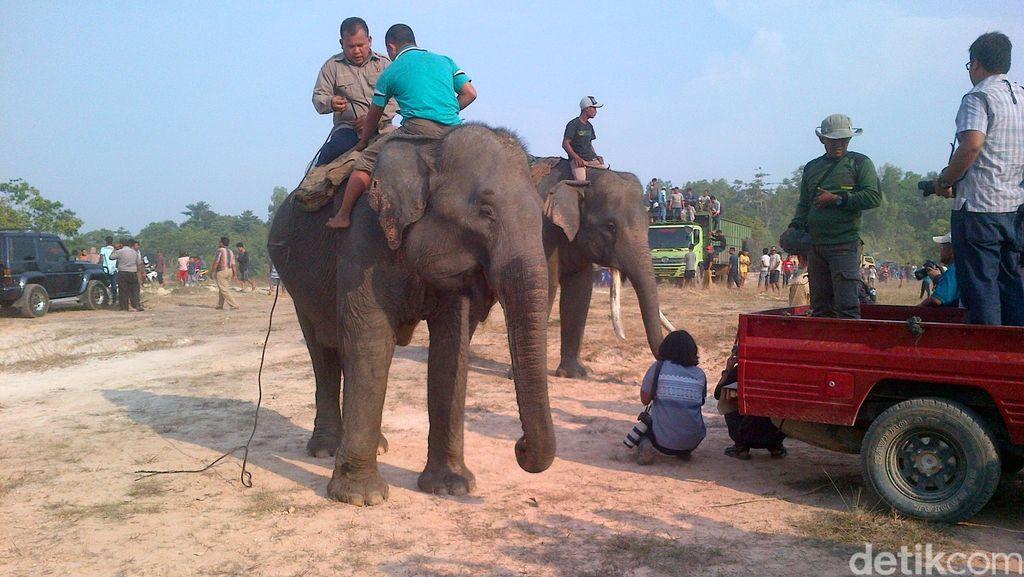 Waduh, Gajah yang Nyasar di Pekanbaru Menghilang setelah Ditembak Bius