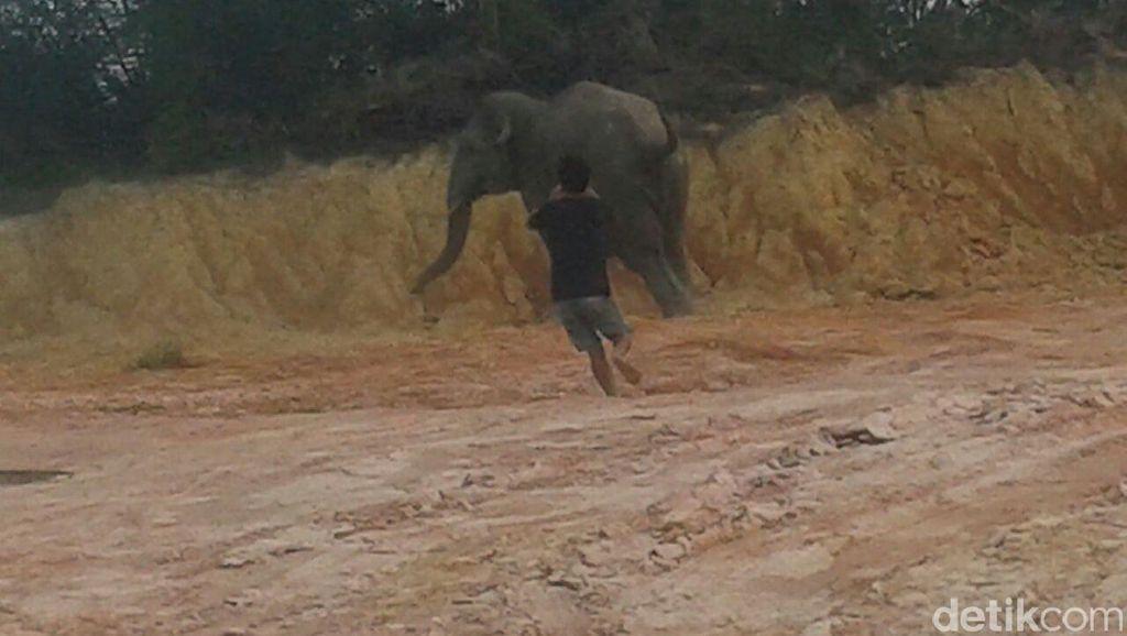 Meski Sudah Ditembak Bius, Gajah Masuk Kota Pekanbaru Belum Bisa Dievakuasi