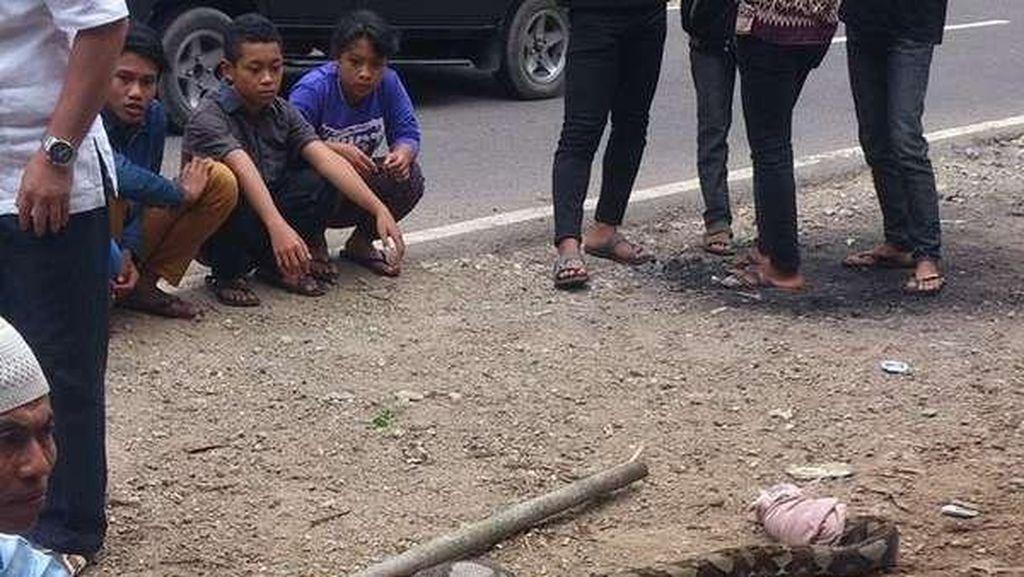 Sehabis Makan Babi Hutan, Ular ini Ditangkap Warga Pacitan