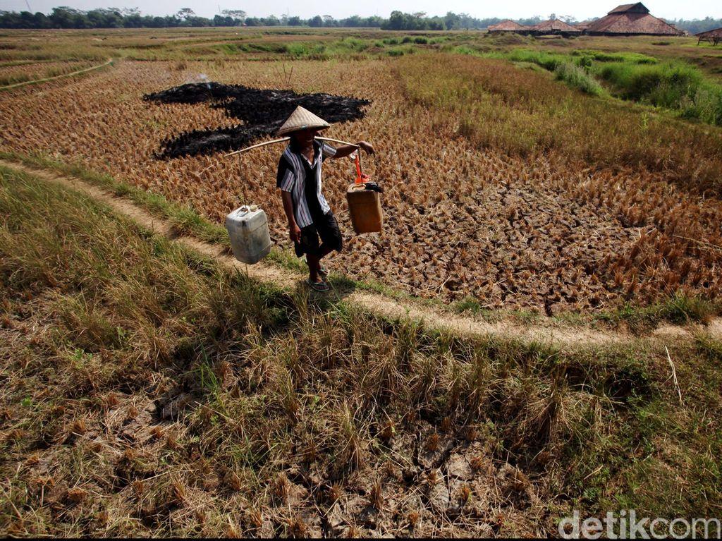 Musim Kemarau, Ratusan Ribu Hektar Sawah di Indonesia Alami Kekeringan
