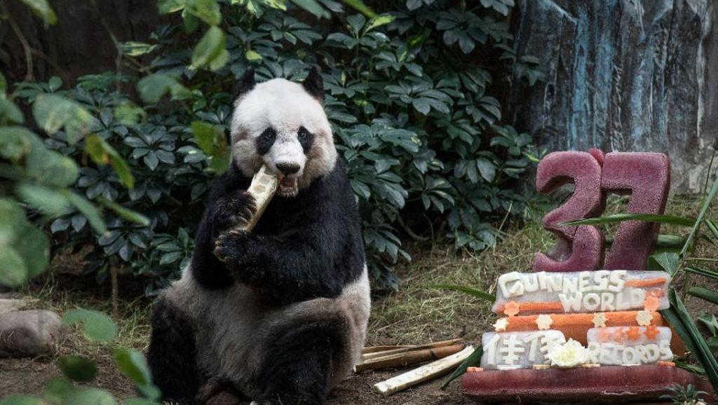 Jia Jia, Panda Tertua di Dunia Rayakan Ultah dengan Gaya