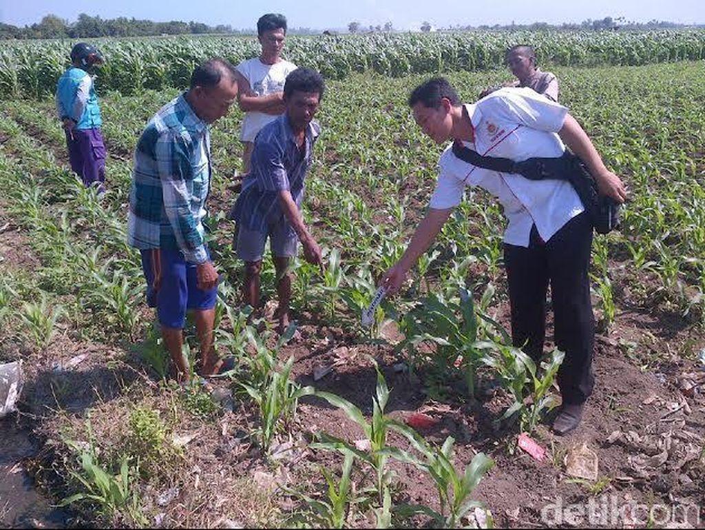 Granat Nanas Ditemukan di Ladang Jagung