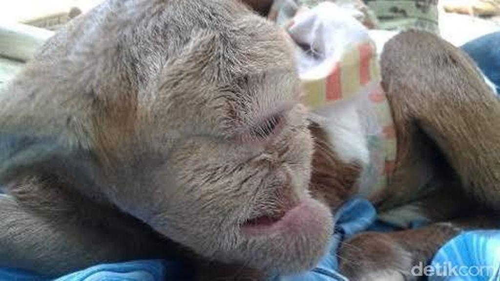 Heboh Kambing Mata Satu di Banten, Warga Sebut Kambing Dajjal
