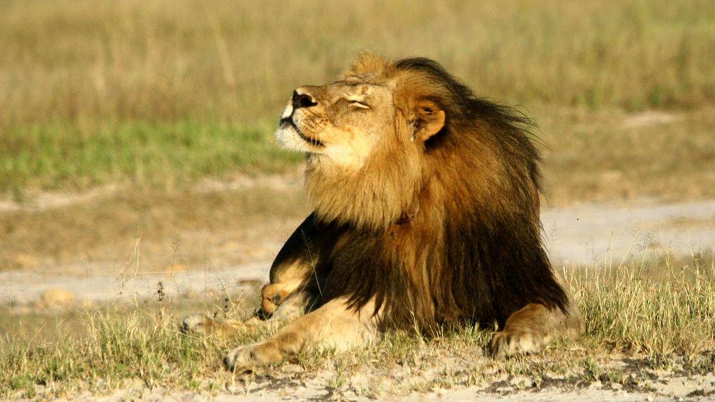 Singa Cecil Mati Ditembak Dokter Gigi, Jericho Jadi Raja Pelindung