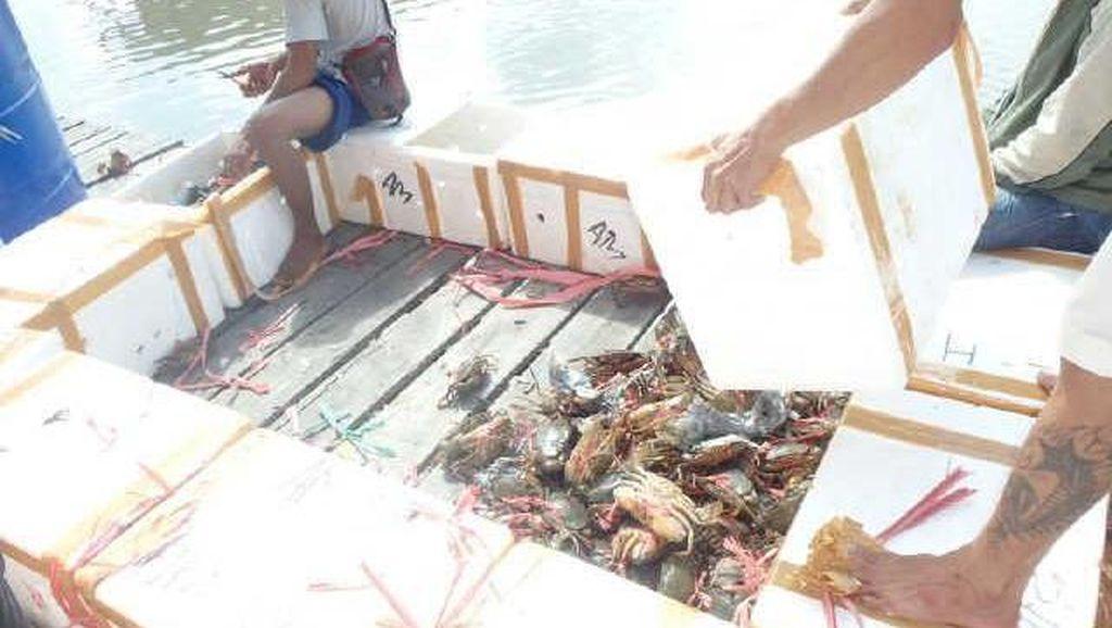 Polisi Gagalkan Penyelundupan Ribuan Kepiting Betina ke Malaysia