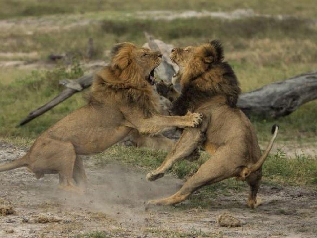 Singa Jericho Adik Cecil Dilaporkan Juga Dibunuh di Zimbabwe