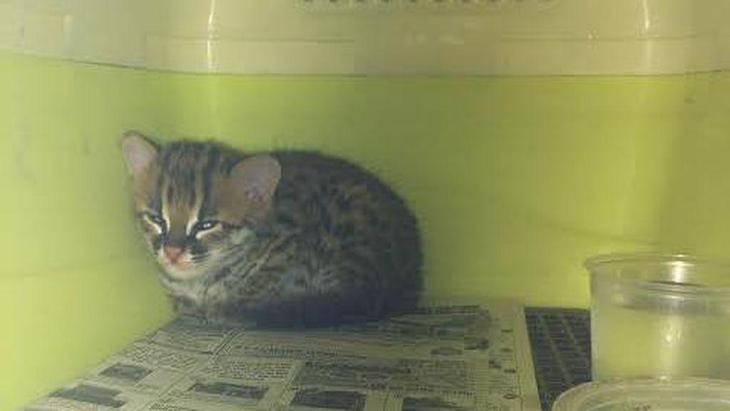 Kucing Hutan Langka yang Cantik ini Dijual Bebas di Balikpapan