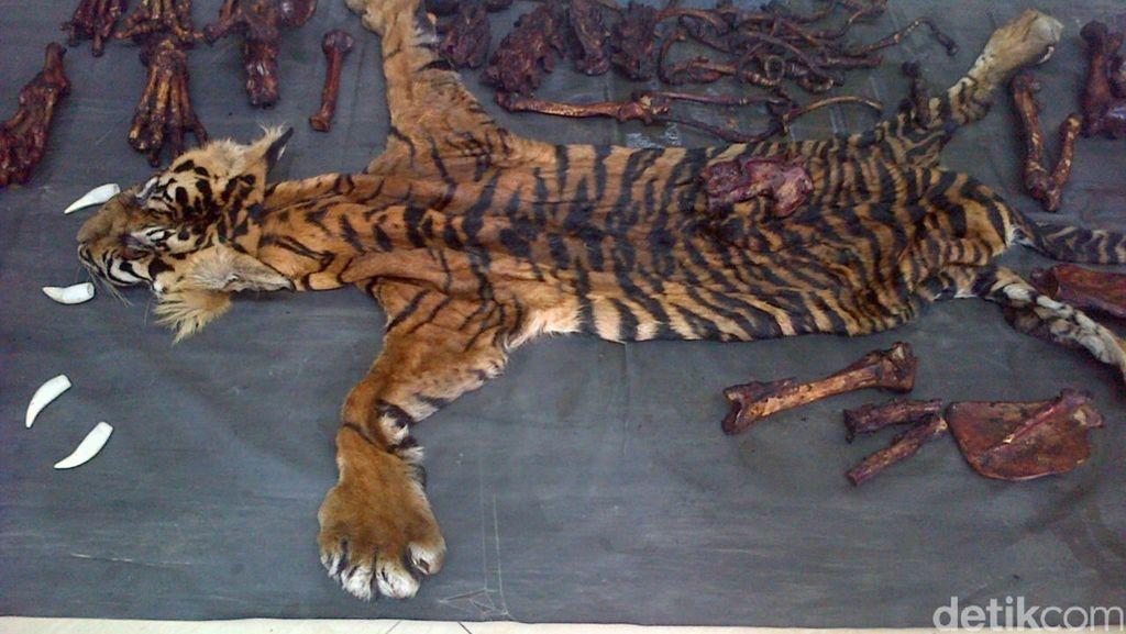 Polisi Menyamar Pembeli, 4 Pemburu Kulit Harimau di Aceh Ditangkap