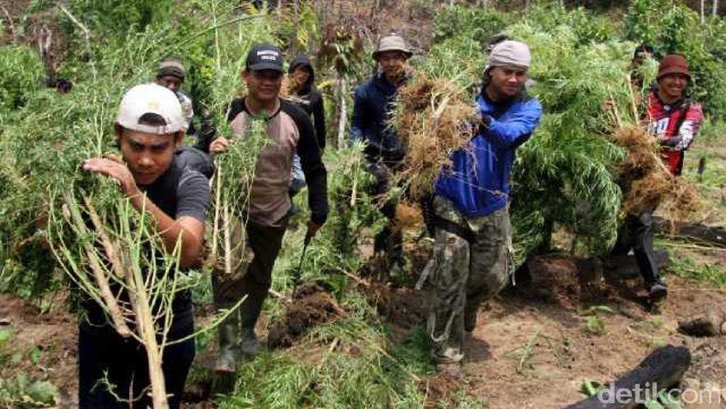 Tim Polres Lhokseumawe Temukan Ladang Ganja Siap Panen Seluas 4 Hektare