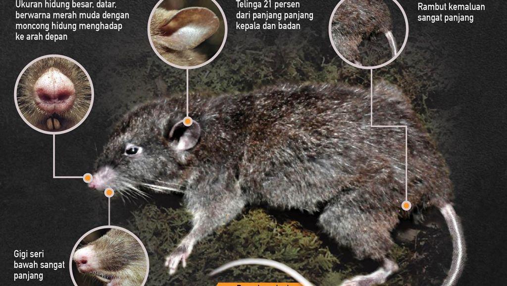 Menguak Tikus Hidung Babi dari Sulawesi