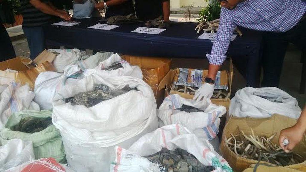 Penjual Tubuh Satwa yang Digerebek Polisi Berkedok Mengolah Teripang