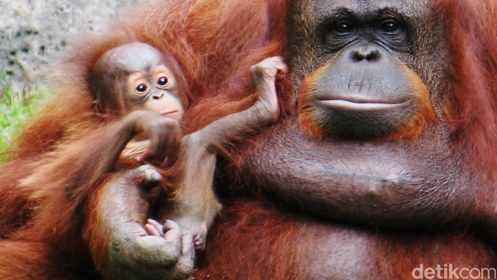 Thailand Pulangkan 14 Ekor Orangutan ke Indonesia