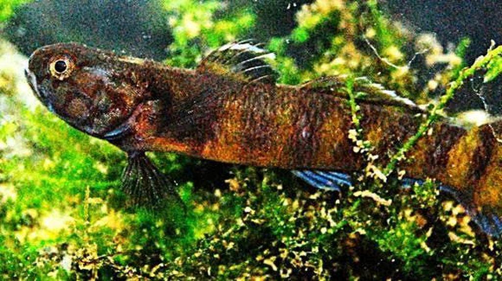 Penampakan Spesies Baru yang Ditemukan LIPI di Pulau Enggano