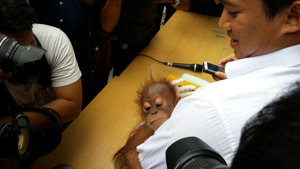 Bayi Orangutan yang Diamankan Polda Riau akan Dijual Rp 25 Juta per Ekor