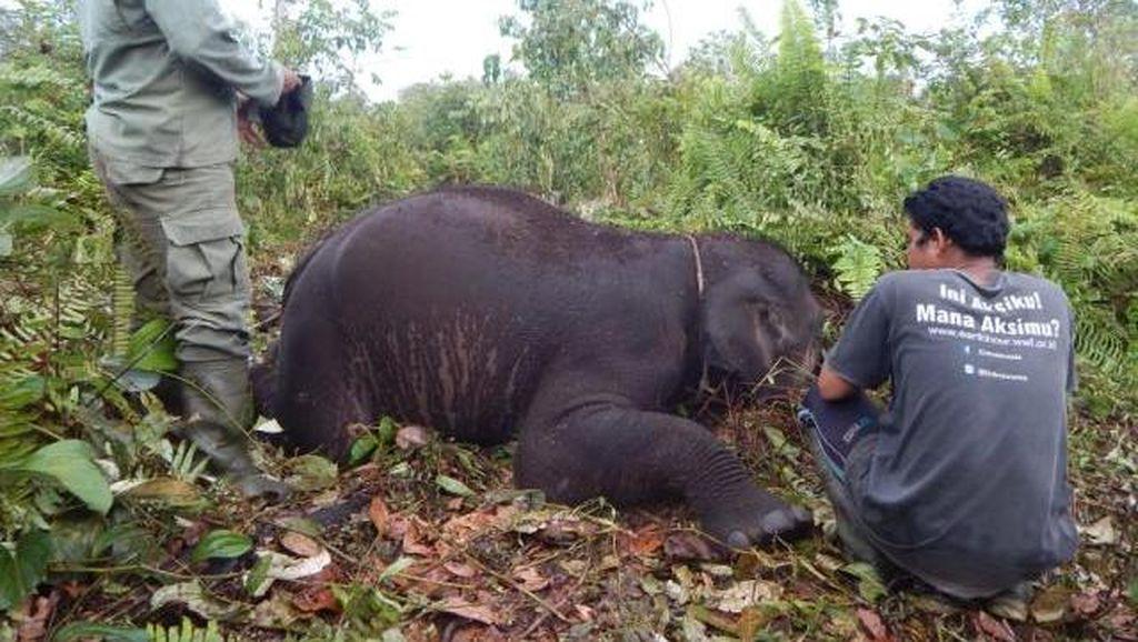 Anak Gajah Tim Flying Squad Mati di Taman Nasional Tesso Nilo