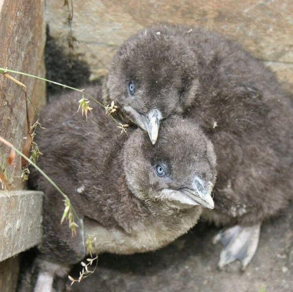 Kembalikan Habitat Penguin, Victoria Beli 175 Rumah Warga Selama 25 Tahun