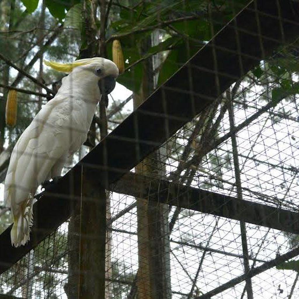 Sebelum Dilepas ke Habitat, Kakatua Jambul Kuning Jalani Tes DNA