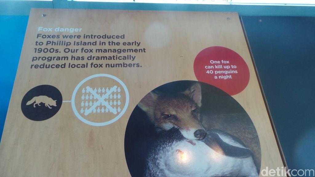 Selain Beli Rumah Warga Jaga Penguin, Victoria Juga Basmi Predatornya