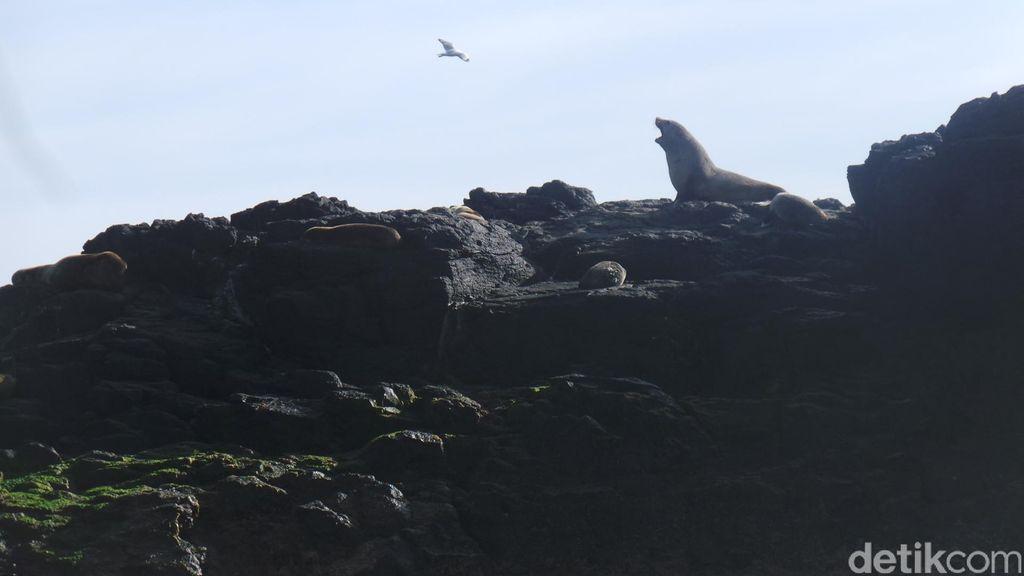 Menjenguk Kerajaan Anjing Laut di Pulau Karang Phillip Island