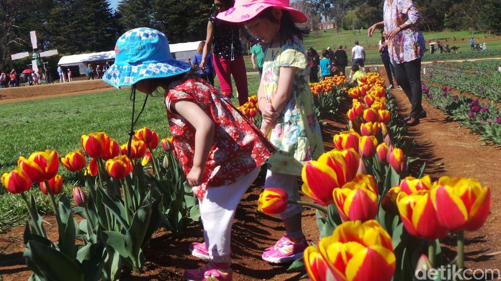 Menelisik Sejarah Bunga Tulip yang Cantik di Festival Tulip Victoria