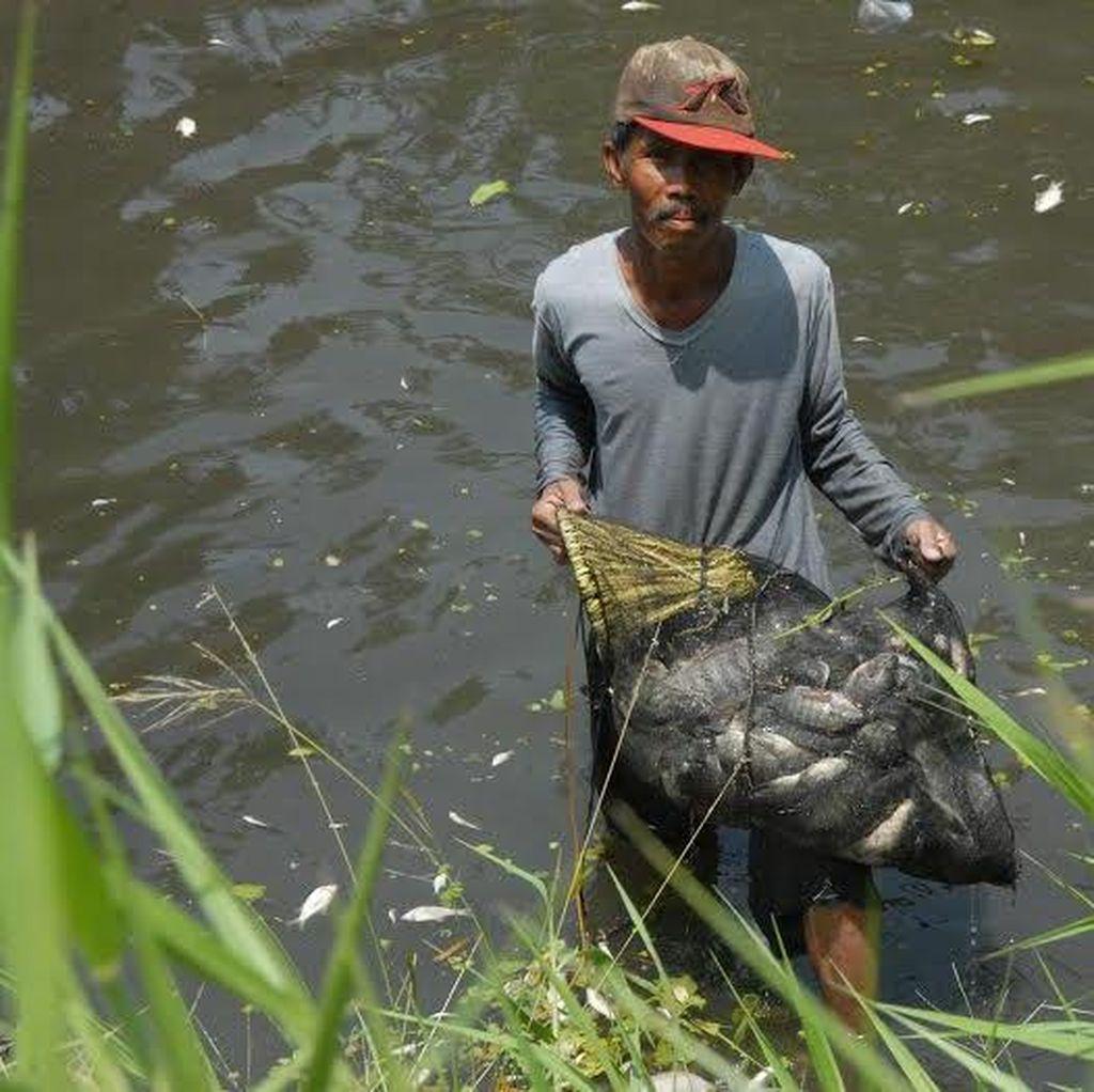 Cerita Warga Dapat Ikan Mabuk 25 Kg Hingga 50 Kg