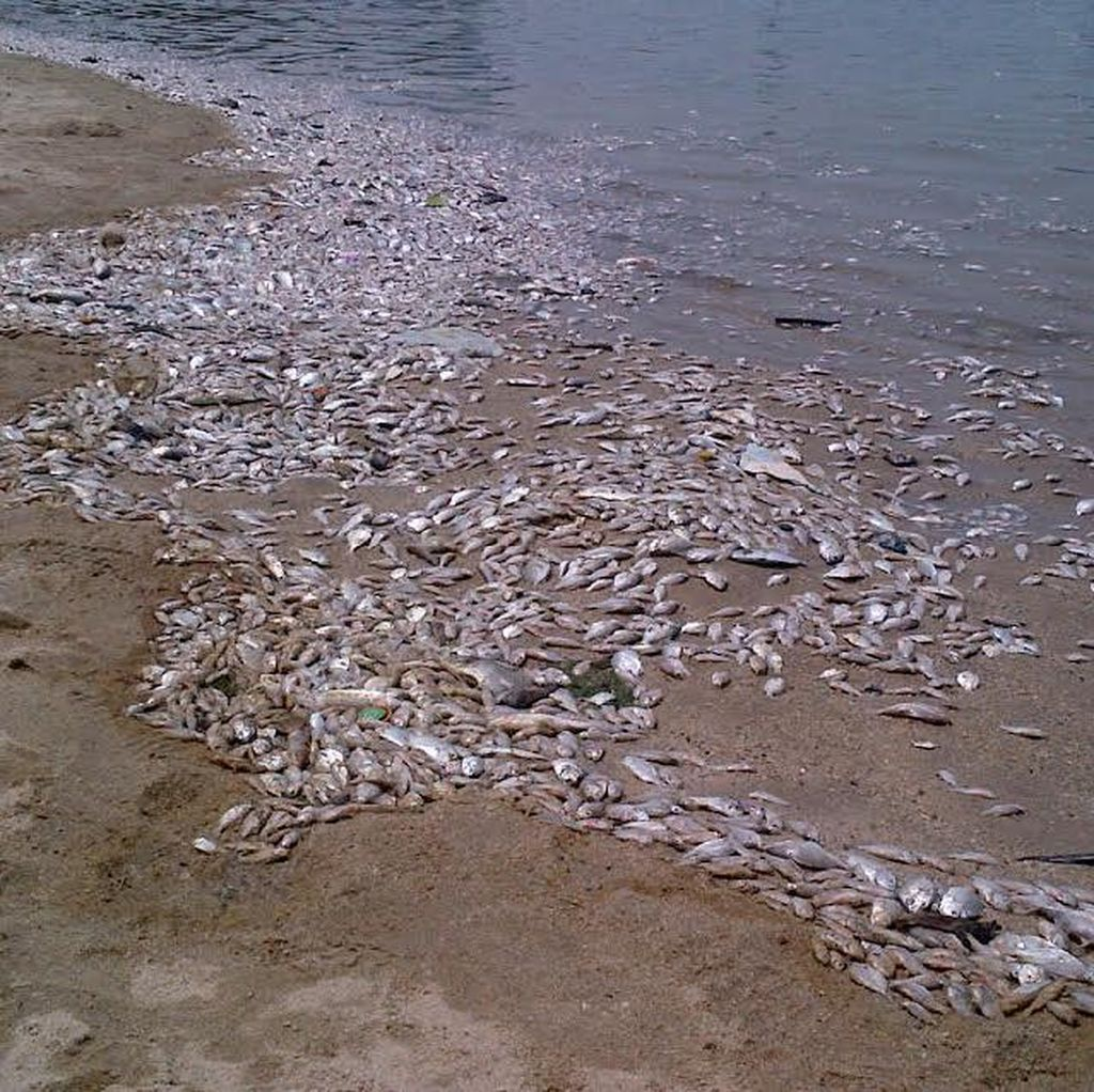 Warga Diimbau Tak Konsumsi Ikan yang Mati di Sepanjang Pantai Ancol