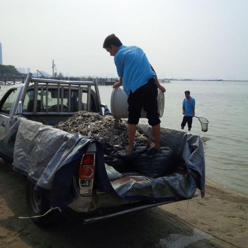 Sudah 5 Kali Mobil Bak Bolak Balik Bersihkan Ikan Mati di Pantai Ancol