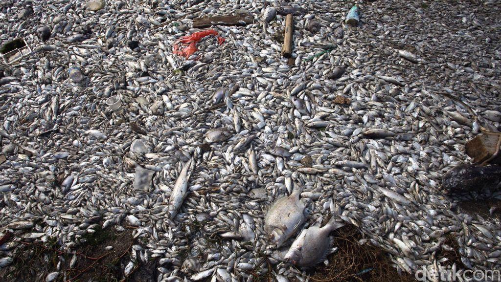Merujuk Hasil Lab LIPI, Ahok Sebut Ikan Mati di Ancol Aman Dikonsumsi