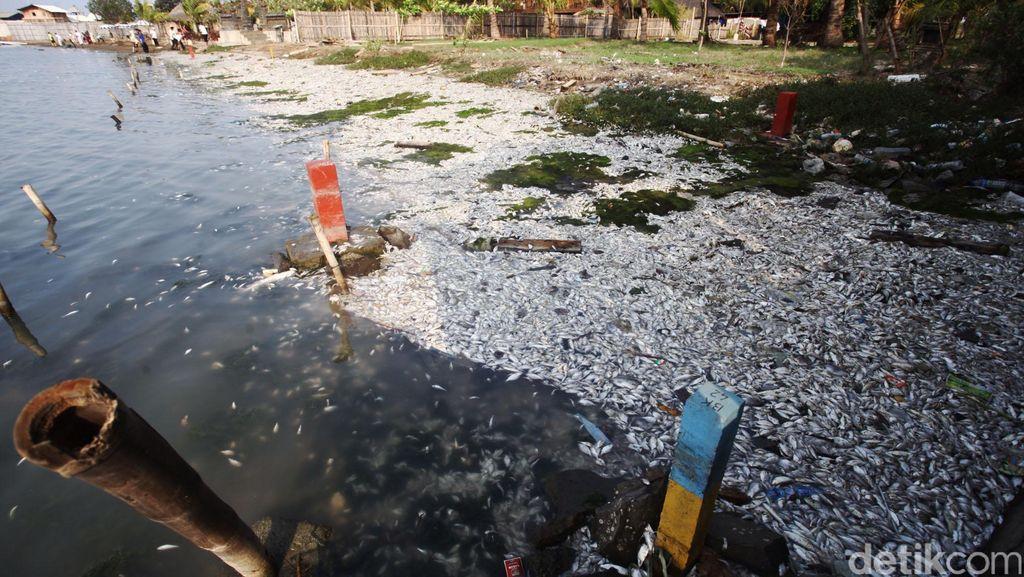 Jumlah Ikan Mati di Ancol Sekitar 650 Kg, Penyebab Masih Tunggu Uji Lab