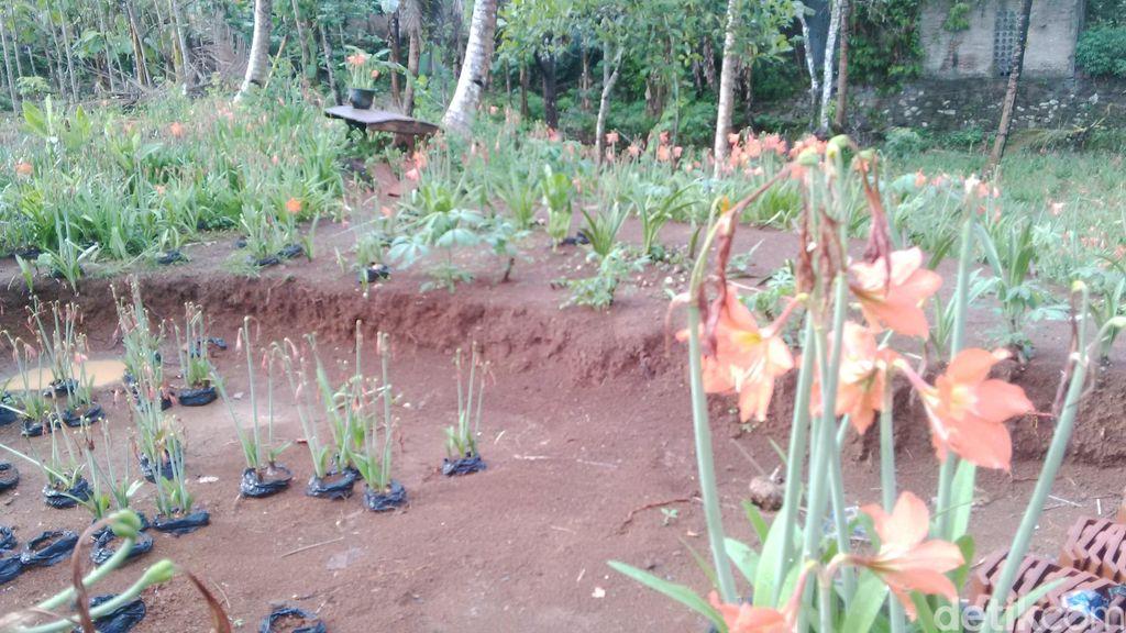 UGM Turun Tangan, Siap Bantu Tata dan Percantik Kebun Amarilis Sukadi
