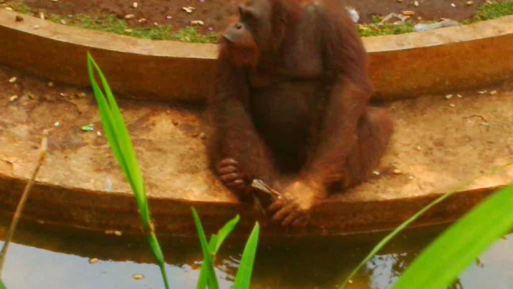 Duh! Sejumlah Hewan Koleksi Kebun Binatang Solo Menjomblo