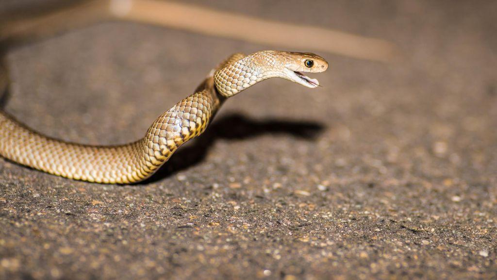 Waspadai Ular Kobra di Perumahan, Ini Langkah-langkah Menghadapinya