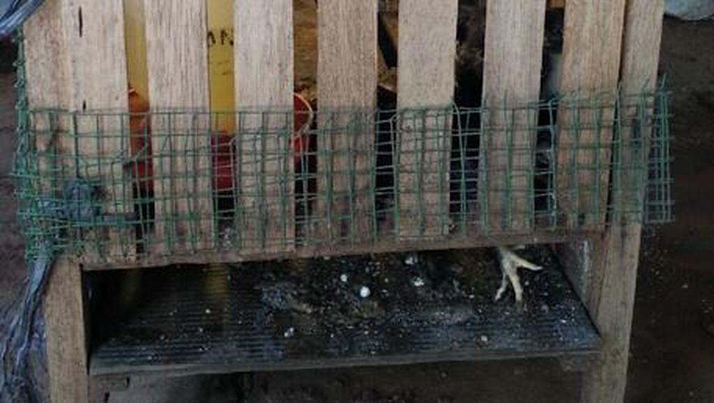 Ular Kobra Meneror Kawasan Kelapa Dua Depok, Banyak Ayam Warga Jadi Bangkai
