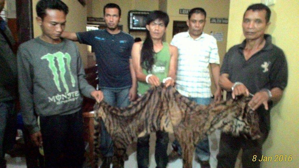 Lama Diincar, Jaringan Pemburu Harimau Sumatera di Bengkulu Dibekuk