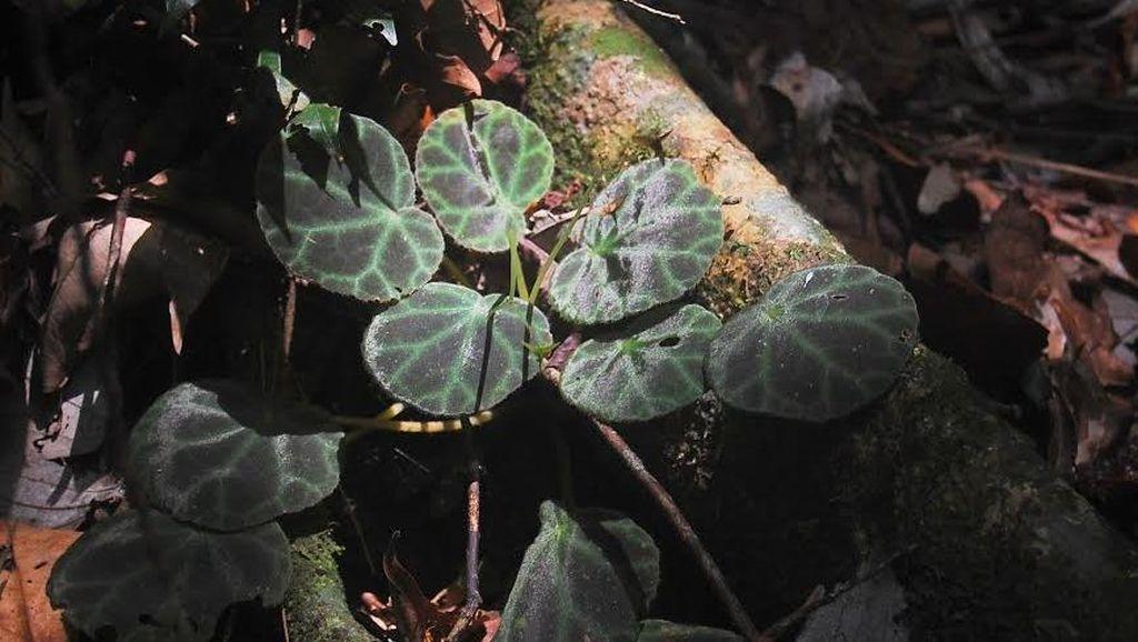 2 Jenis Baru Begonia Kembali Ditemukan di Kawasan Gunung Leuser Sumatera Utara