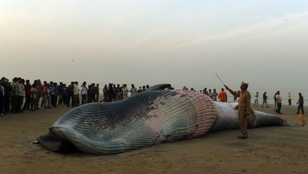 Paus Sepanjang 9 Meter Terdampar Mati di Pantai India