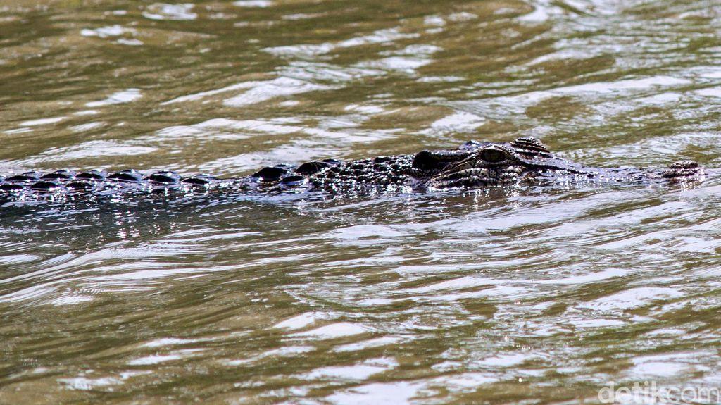 Cek Lokasi Munculnya Buaya di Banyumas, BKSDA Minta Warga Jauhi Tepian Sungai