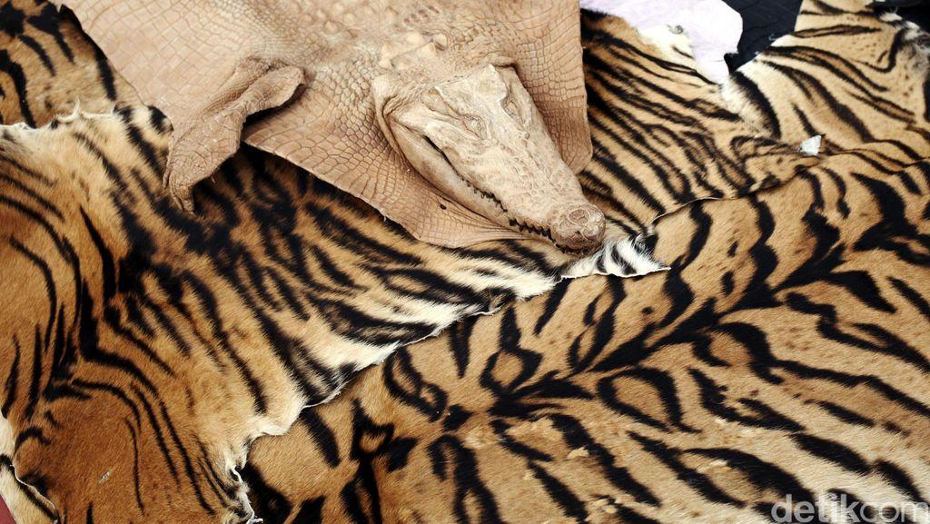 Pelaku Penjual Kulit Harimau Ilegal di Sumut Divonis 2 Tahun Penjara