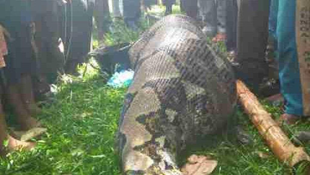 Ular Sepanjang 7 Meter ini Ditemukan Polisi saat Membuat Sekat Kanal di Riau