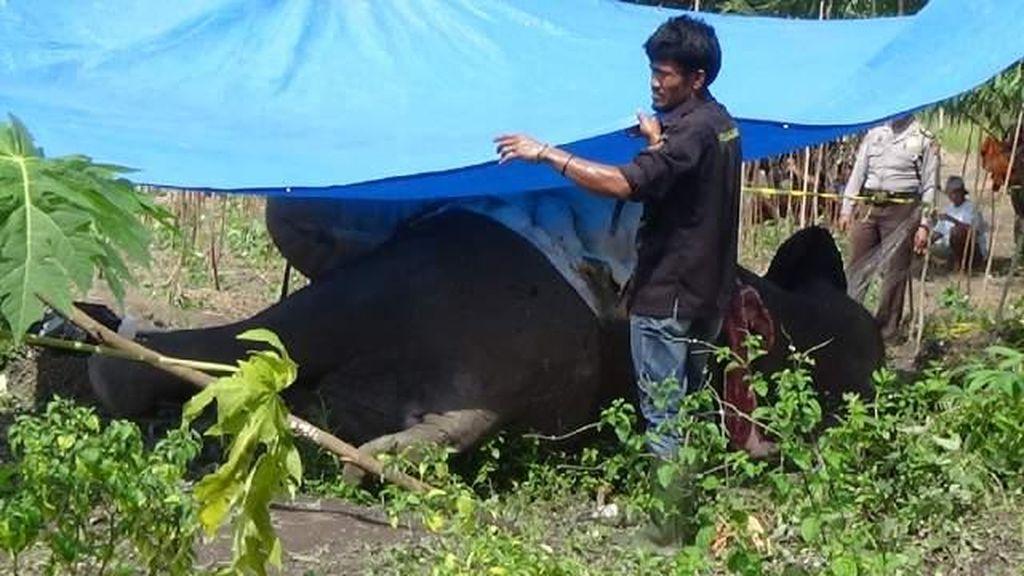 Diduga Gajah yang Ditemukan Mati Tak Wajar di Riau Terkena Setrum