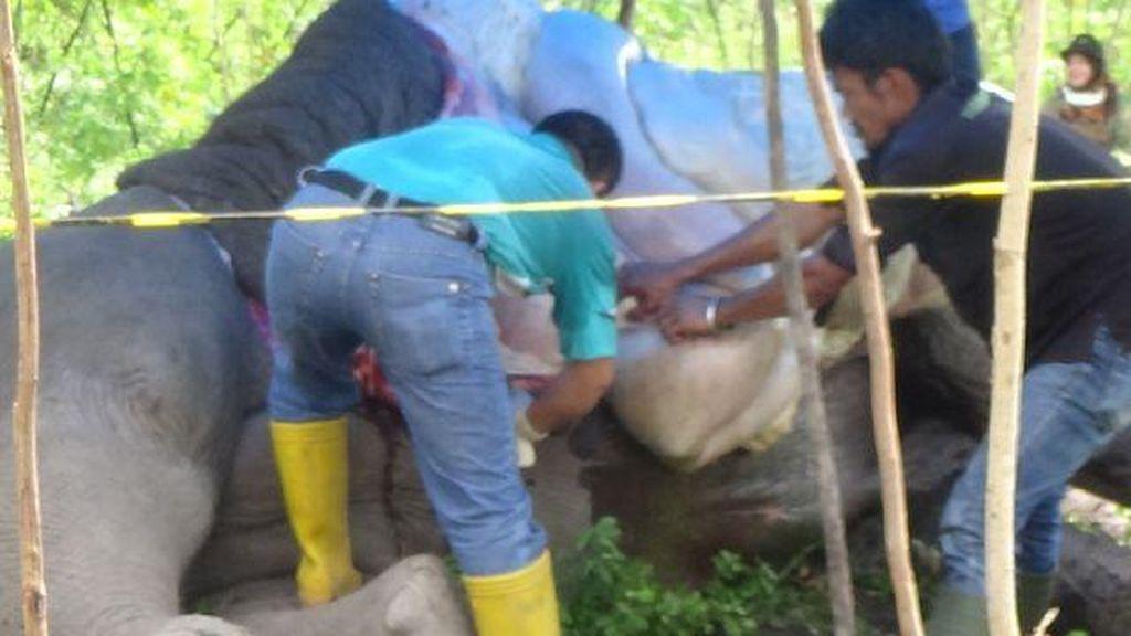 Hasil Autopsi Membuktikan: Gajah Liar di Riau Mati karena Tersetrum