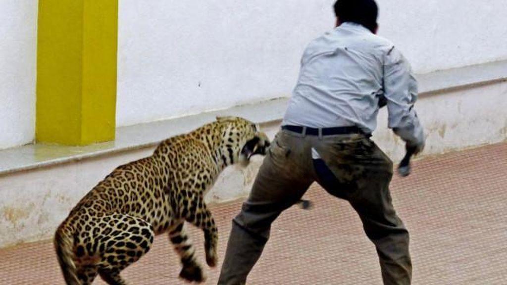 Lebih 100 Sekolah di India Tutup karena Teror Macan Tutul